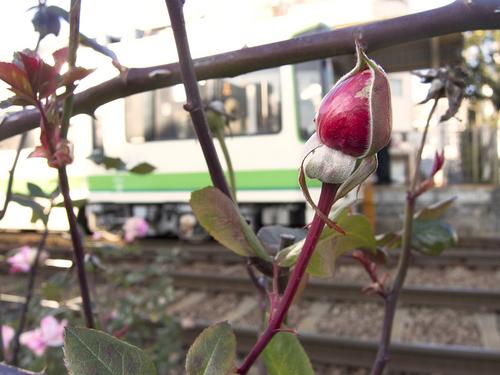 都電荒川線とバラのつぼみ